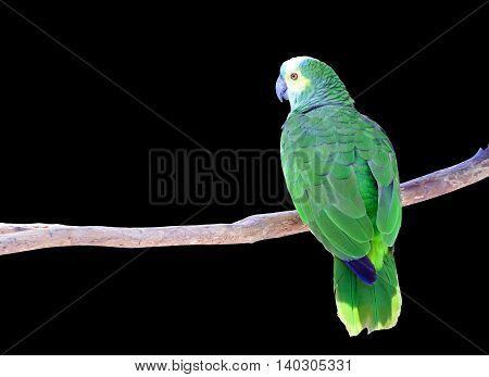 Green Parrot isolated on branch with black background.