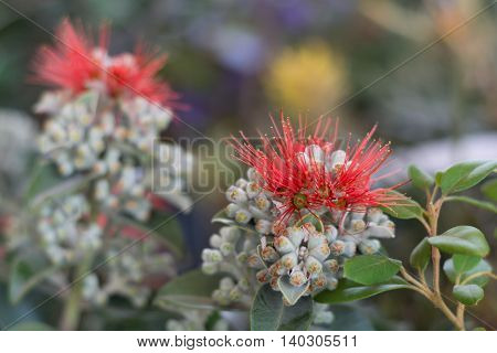 red bloom of an ironwood tree - depth-of-field