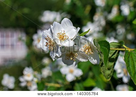 White flowers of the Apple-tree in garden city