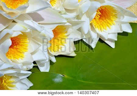 Bouquet water lily on a green leaf background.