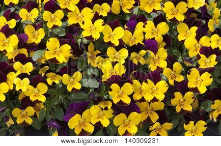 Stock Photo - Pattern yellow and purple spring flowers