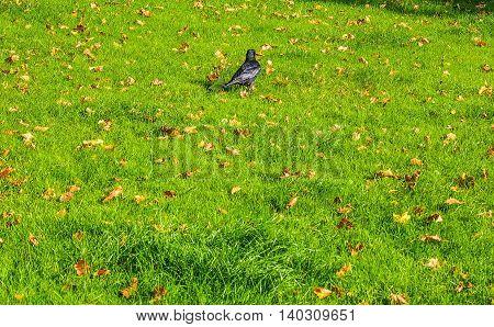 Black Crow Bird Hdr