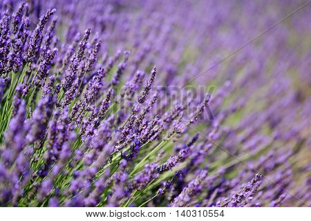 Blooming lavender in a field at Provence