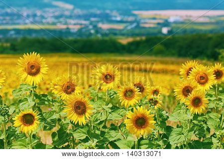 Ripe Yellow Sunflowers at front of Bulgarian Landscape