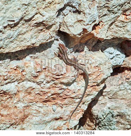 Viviparous Lizard (Lacerta Vivipara) on the Rock