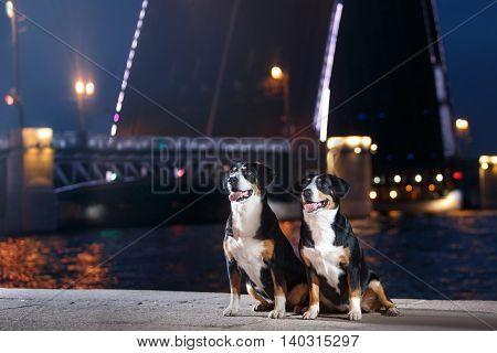 Entlebucher Mountain Dog Sennenhund walks on a night city summer