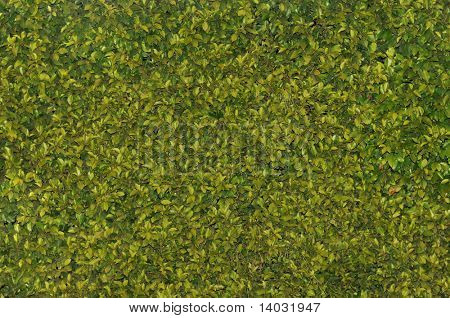 Texas privet hedge background