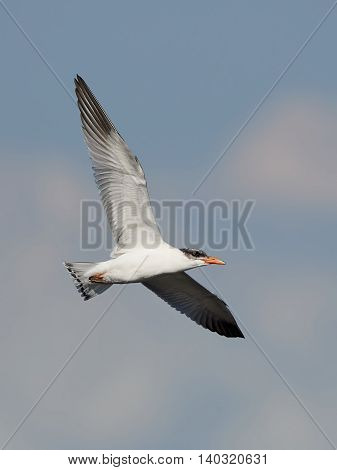 Juvenile Caspian tern (Hydroprogne caspia) in flight with blue skies in the background