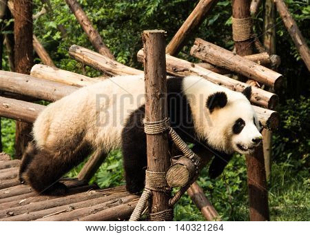 Lazy panda relaxing on a bamboo platform