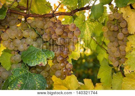 detail of ripe grapes on vine in vineyard