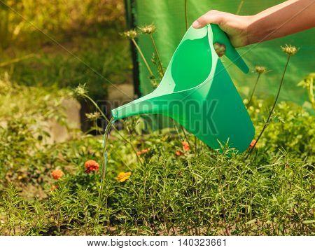Gardening. Closeup woman working in garden watering plants flowersbeds outdoor