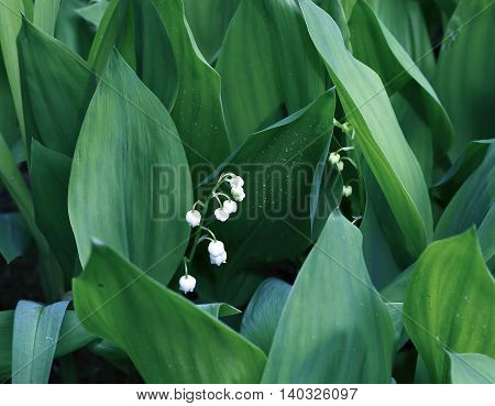 Lily of the valley in early spring forest