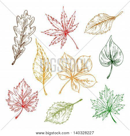 Leaves of trees and plants set. Hand drawn pencil sketch drawing. Oak, maple, birch, aspen, chestnut, elm leaves for print or fall design