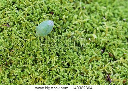 Closeup of a green bug on a lush green moss background