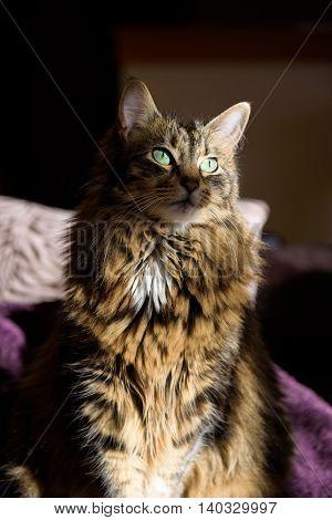 Dramatic lighting portrait of a cat, vertical