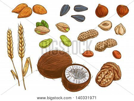 Nuts, grain and kernels. Sketch vector icons of wheat, almond, pistachio, coconut, sunflower seeds, peanut hazelnut walnut