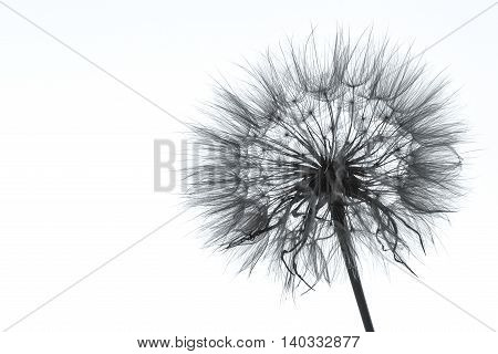 Photo of dandelion silhouette on white background