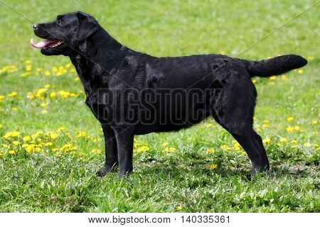 black dog Labrador Retriever standing in the show position in the summer on grass side view at full height
