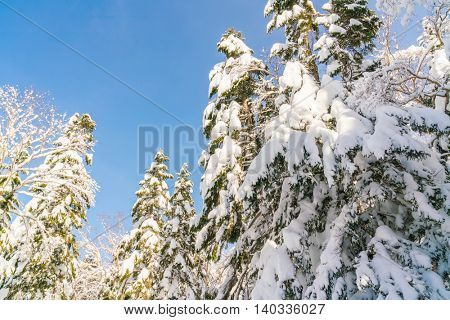 Winter trees covered with snow