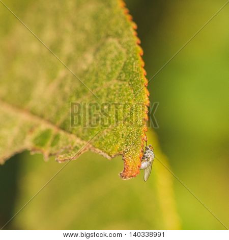 Light grey fly with orange eyes siting on the jagged edge of a leaf with an orange edge.