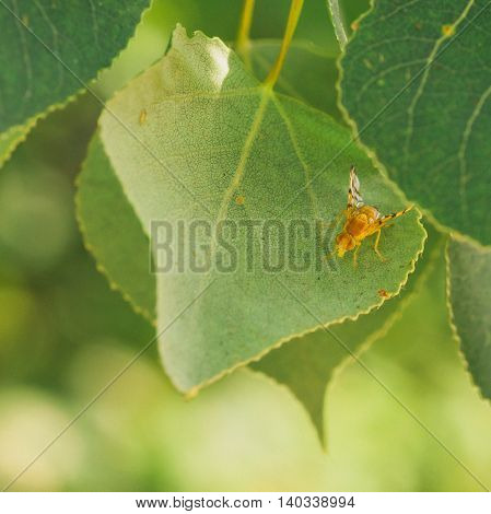 Macro of a colourful eyed Rose Hip Fly sitting on a leaf.