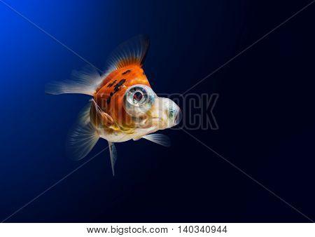 Calico Telescope-eyes Goldfish goldfish on blue background.