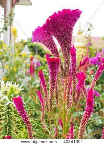 Flower in the garden. Or Cockscumb flower.
