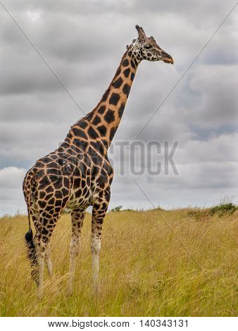 Giraffe with a bird on its neck in Murchison Falls National Park, Uganda