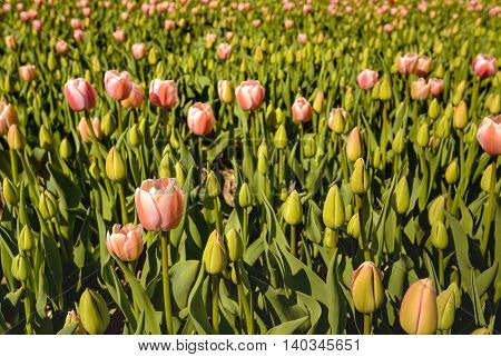 Closeup of pink budding and blooming tulip bulbs in early morning sunlight at a large field of a specialized Dutch bulb grower in springtime.