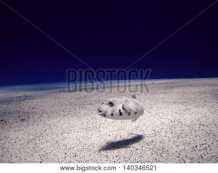 White fish on the sand bottom. Underwater paradise for scuba diving freediving. Red sea Dahab Egypt.