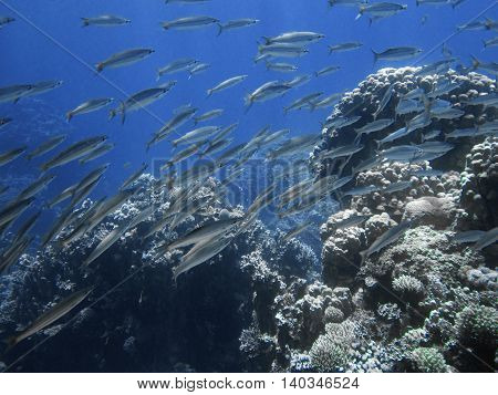 School of barracuda fish with big corals. Underwater paradise for scuba diving freediving. Red sea Dahab Egypt.