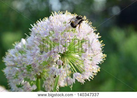 a humble-bee on a white flower of leek (Allium porrum)
