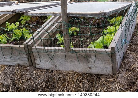 salads in a cold frame well on the ground