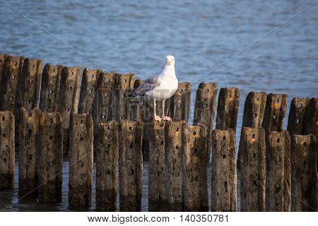 A lone seagull sits on the breakwater Poti Georgia.