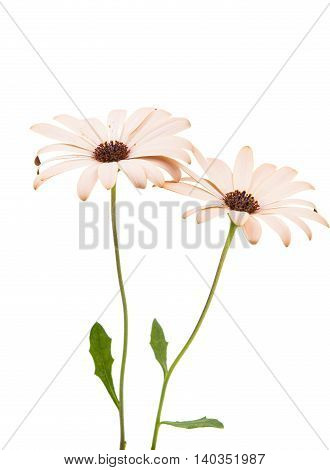 Osteospermum Daisy or Cape Daisy Flower Flower Isolated over White Background. Macro Closeup