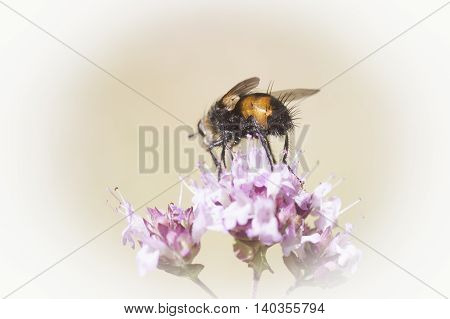 a small fly showing his behind while pollinating
