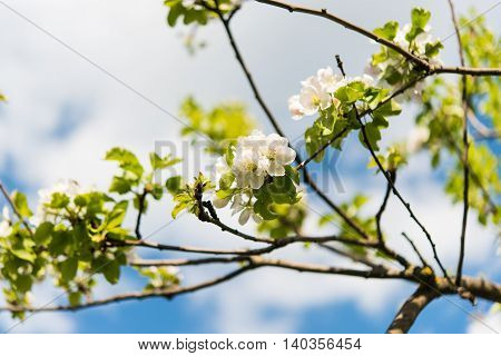 delicate white flowering apple tree in spring