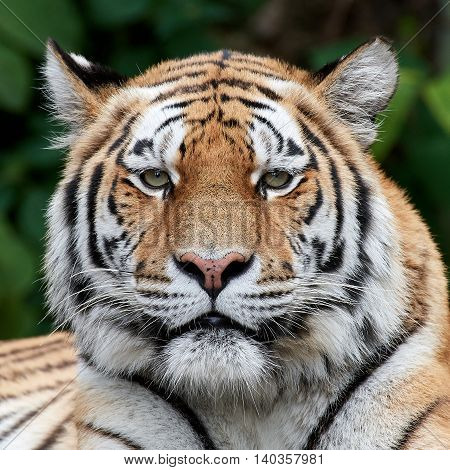 Closeup portrait of the Amur tiger with vegetation in the background