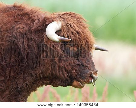 Closeup portrait of a Scottish highland bull seen from the side