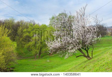 Ukrainian landscape with flowering apricot tree in spring season