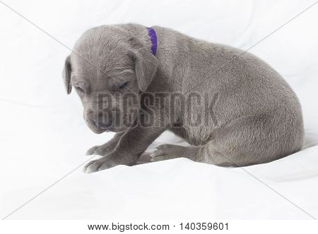 Grey Great Dane puppy alone on a white background that is three weeks old
