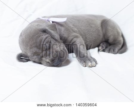 Purebred gray Great Dane puppy napping on a white sheet