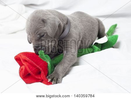 Grey purebred Great Dane puppy playing with a fake rose