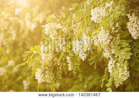 Blossoming of white acacia flowers at springtime, natural sunny outdoor seasonal floral background