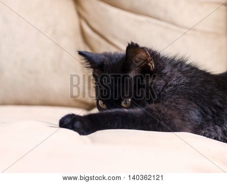 portrait of a little black kitten, three months, purebred, with big yellow eyes lying on a beige couch, closed the muzzle paws