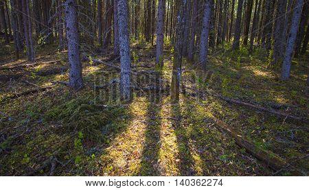 Light sneaking through a thick forest in Saskatchewan Canada