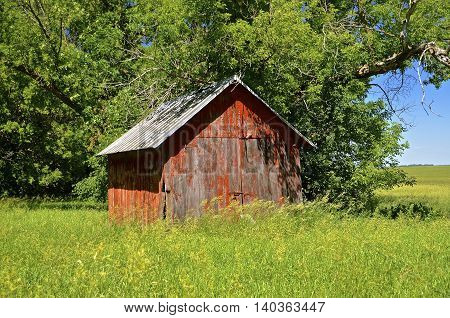Old  abandoned red shed in a meadow of long grass.