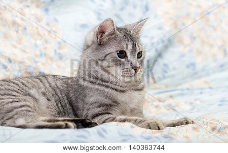 Cat, resting cat on a sofa close up, young playful kitten on a bed, relaxing animal, elegant pet