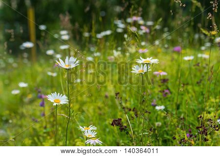 White wild daisies and other flowers on summer meadow