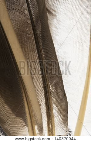 Transparent pigeon feathers close up as background